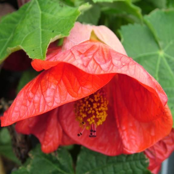 Abutilon 'Ashford Red'