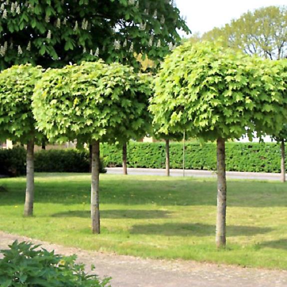 Acer platanoides 'Globosum' 1.2m Std