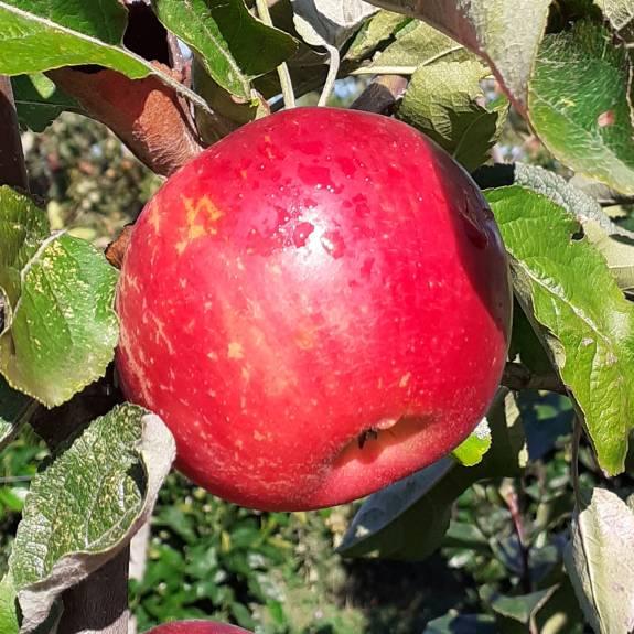 Apple 'Akane' MM106