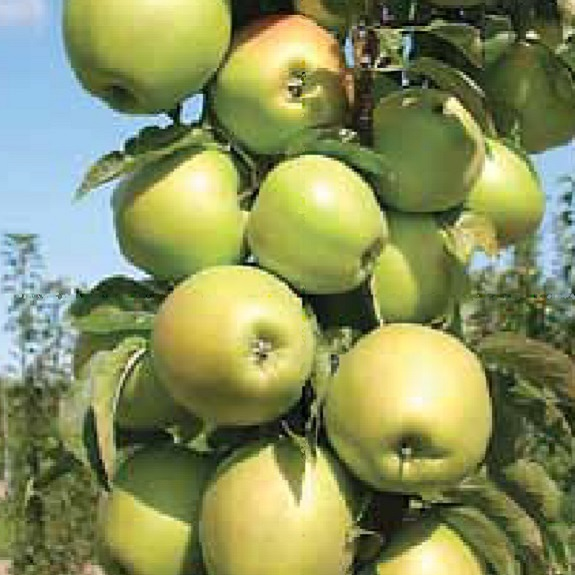 Apple 'Bolero' M116