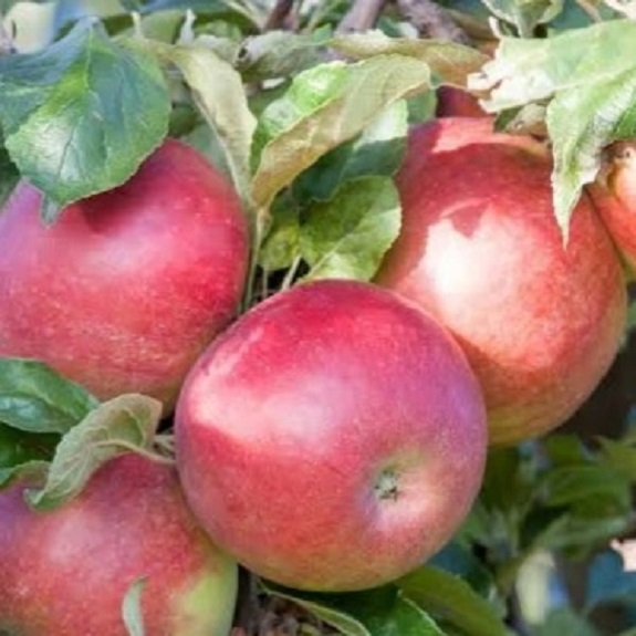 Apple 'Crimson Spire'