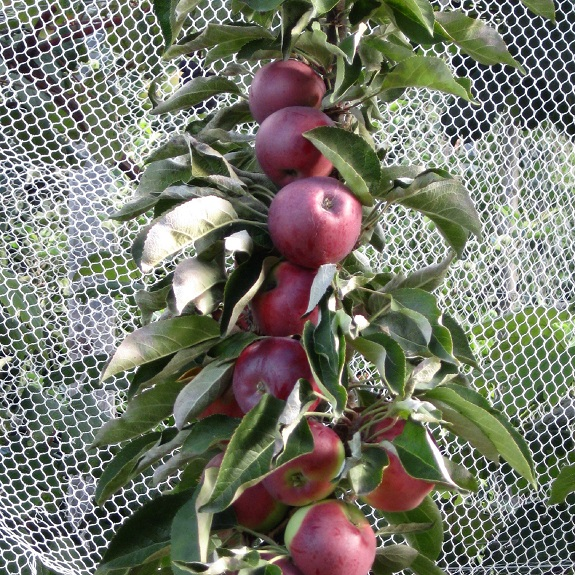 Apple 'Scarlet Spire'