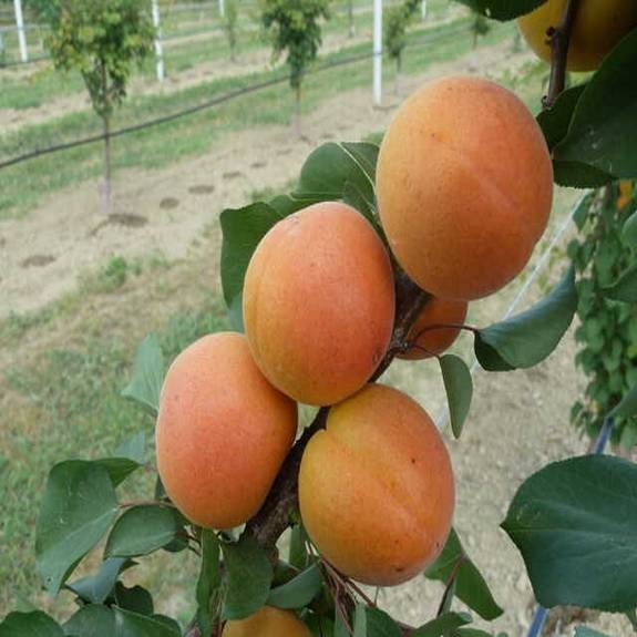 Apricot 'Clutha Early'