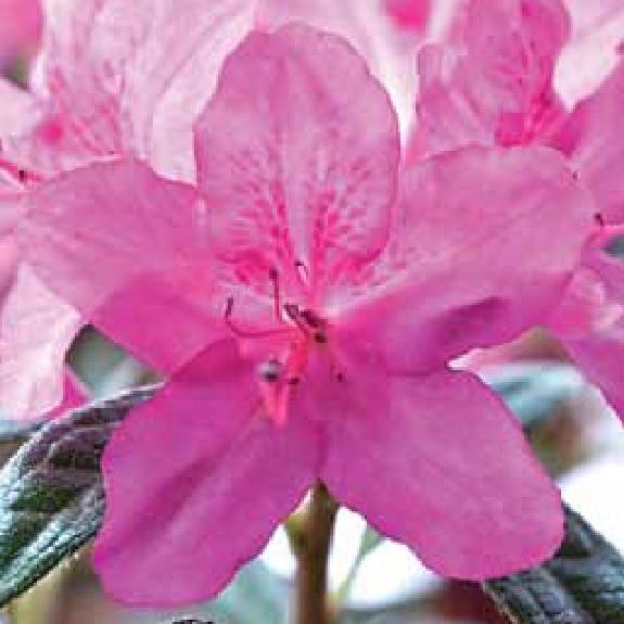 Azalea 'Autumn Amethyst'