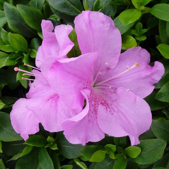 Azalea 'Autumn Lilac'