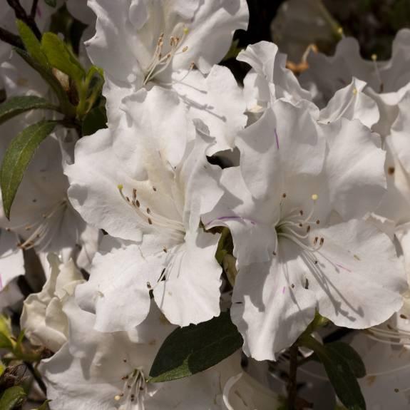 Azalea 'Autumn Lily'