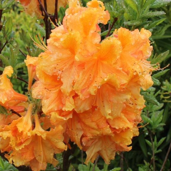 Azalea dec 'Melford Orange'