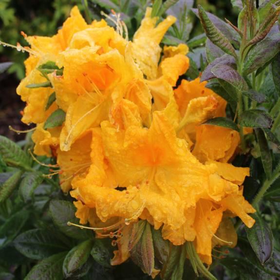 Azalea dec 'Orange Glow'
