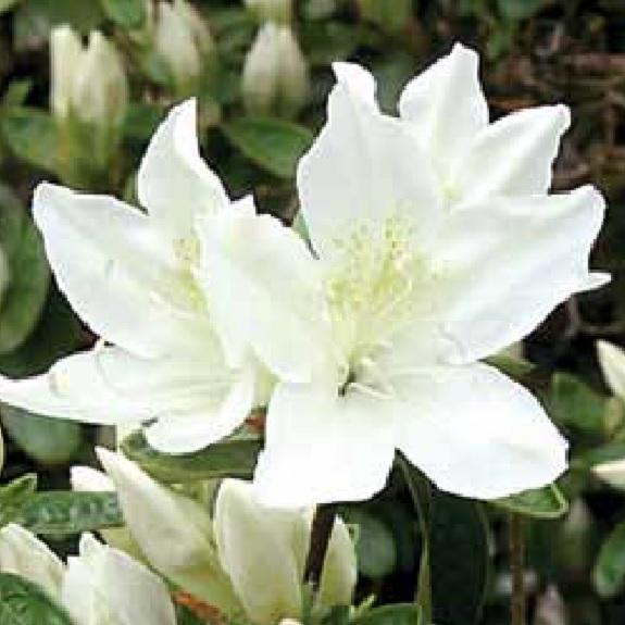Azalea 'Palestrina'