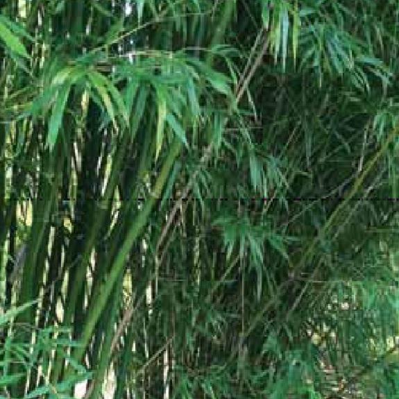 Bambusa textilis 'Gracillis