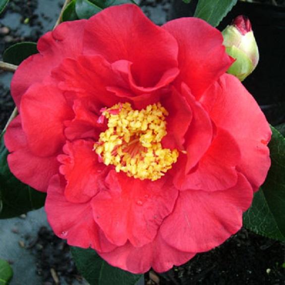 Camellia 'Alfons'