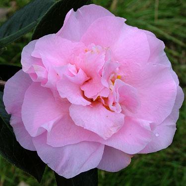 Camellia 'Dresden China'