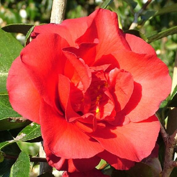 Camellia 'Midnight'