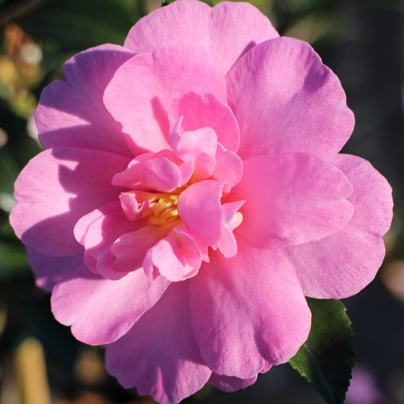 Camellia 'Paradise Hilda'