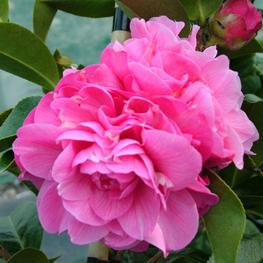 Camellia 'Peekaboo'