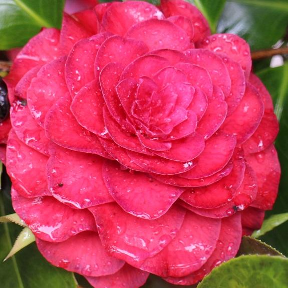 Camellia 'Roger Hall'
