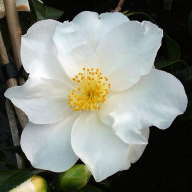 Camellia 'Super Star'