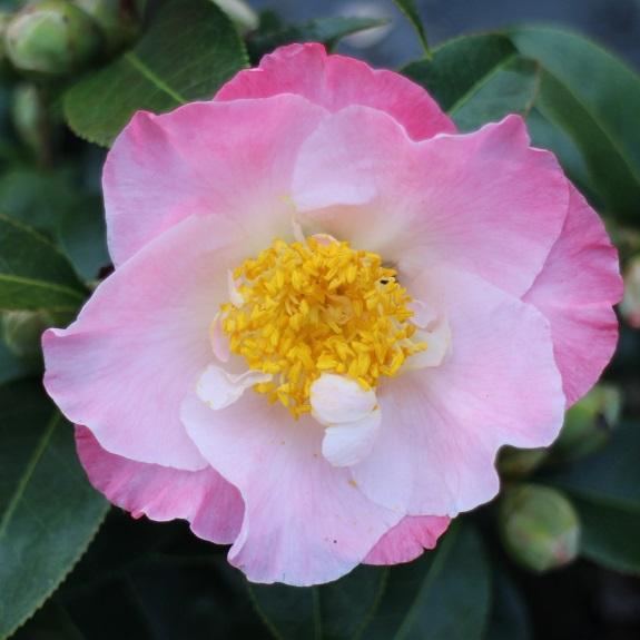 Camellia 'Tiptoe'