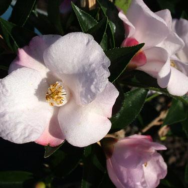 Camellia 'Transtasman'