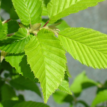 Carpinus betulus 'Fastigata'