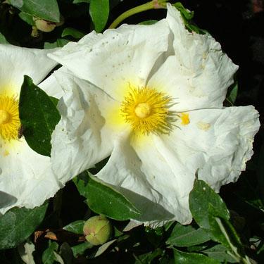 Cistus 'Bennett's White'