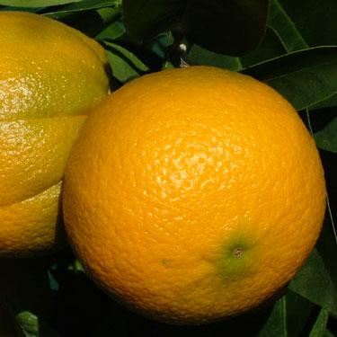Citrus orange 'Cara Cara' Dwarf