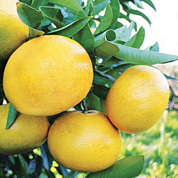 Citrus grapefruit 'Wheeny' Dwarf