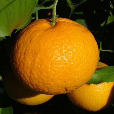 Citrus tangor 'Kiyomi'