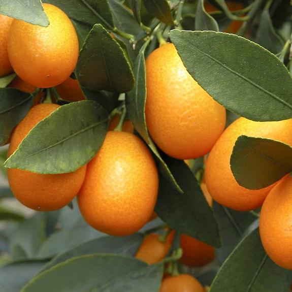 Citrus Kumquat 'Nagami'