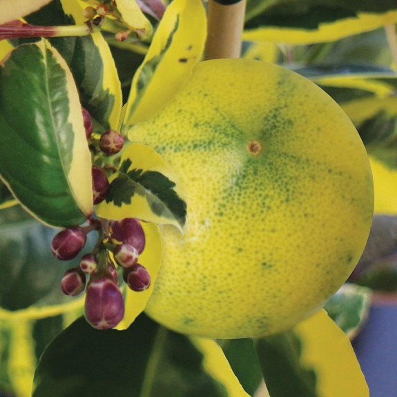 Citrus Lemon 'Meyer Rainbow'