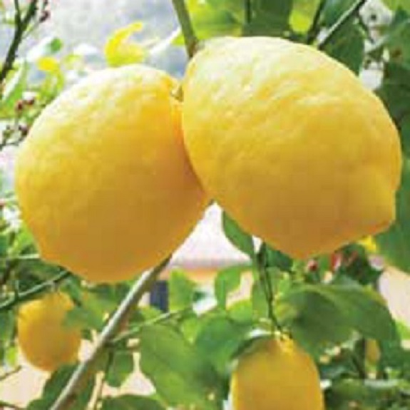 Citrus lemon 'Ponderosa'