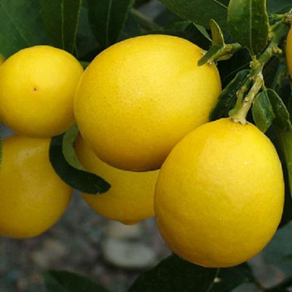 Citrus limequat 'Eustis'