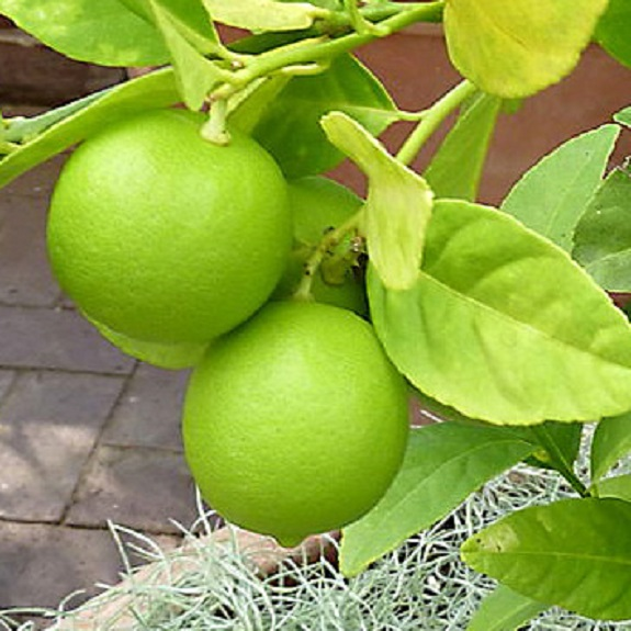 Citrus lime 'Key'