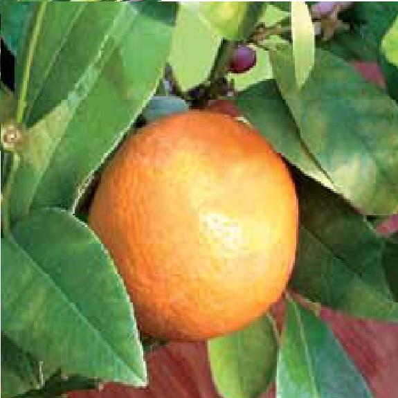 Citrus lime 'Rangpur'