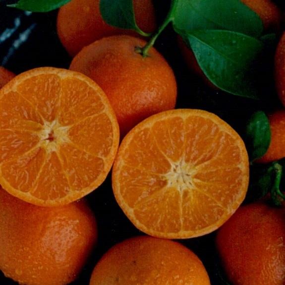 Citrus mandarin 'Bay Sweetie' Dwarf