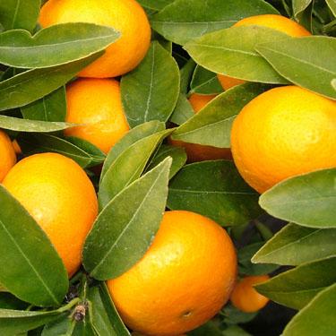 Citrus mandarin 'Encore' Dwarf