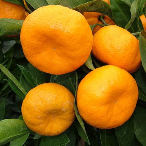 Citrus mandarin 'Kawano'