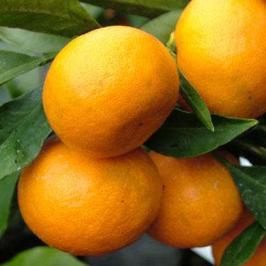 Citrus mandarin 'Miho'