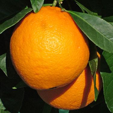 Citrus orange 'Newhall'