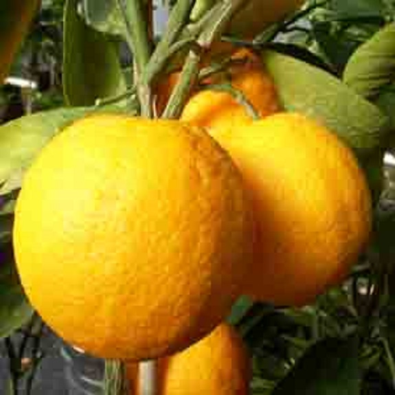 Citrus orange 'Lue Gim Gong'