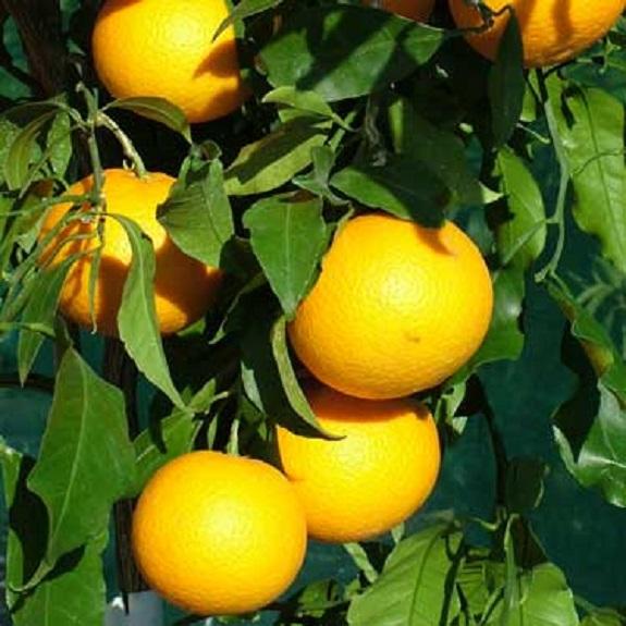 Citrus tangor 'Kiyomi' Dwarf