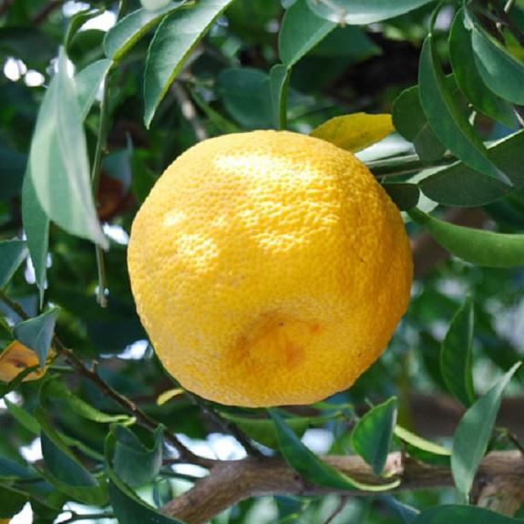Citrus 'Yuzu'