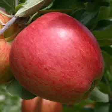 Apple 'Sweetie' M116