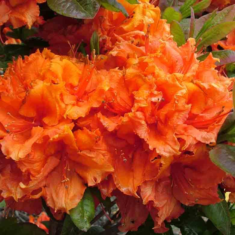 Azalea dec 'Ilam Orange'