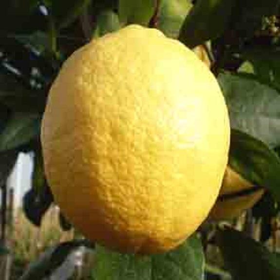 Citrus 'Lemonade' Dwarf