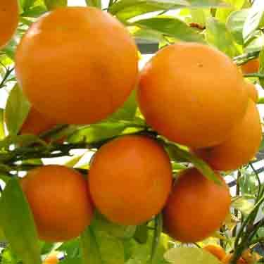 Citrus mandarin 'Afourer'