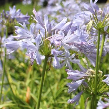 Agapanthus 'Gayles Lilac'