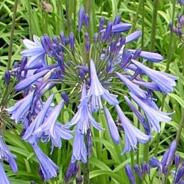 Agapanthus 'Gayles Sapphire'