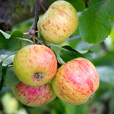 Apple 'Peasgood's Nonsuch' M116