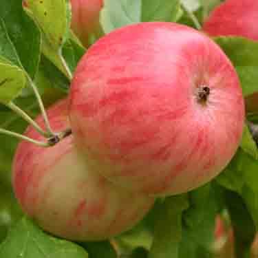 Apple 'Pinkie' M116
